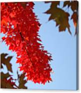 Bright Red Sunlit Autumn Leaves Fall Trees Canvas Print