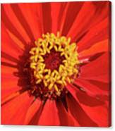 Bright Zinnia Canvas Print