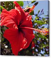 Brightly Colored Hibiscus On The Greek Island Of Mykonos  Canvas Print