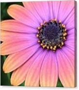 Briliant Colored Daisy Canvas Print
