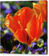 Brilliant Bright Orange And Red Flowering Tulips In A Garden Canvas Print