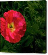 Brilliant Icelandic Poppy Canvas Print