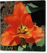 Brilliant Orange Tulip Flower Blossom Blooming In Spring Canvas Print