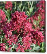 Brilliant Red Blooming Phlox Flowers In A Garden Canvas Print
