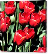 Brilliant Tulips Dp22 Canvas Print
