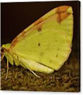 Brimstone Moth Resting Canvas Print