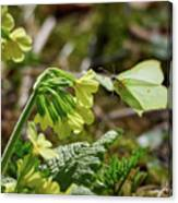 Brimstone On Cowslip Primrose Canvas Print