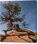 Bristle Cone Tree Canvas Print