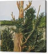 Bristle Wood Pine Canvas Print