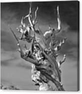Bristlecone Pine - A Survival Expert Canvas Print