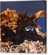 Bristlecone Pine - White Mountains Canvas Print