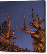 Bristlecone Pines At Sunset With A Rising Moon Canvas Print