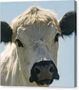 British White Cow Canvas Print