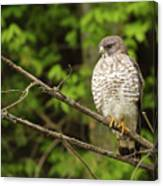 Broad Winged Hawk On The Lookout Canvas Print