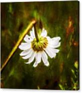 Broken Hearted Oxeye Daisy Asteraceae  Canvas Print