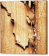 Broken Old Stump Spruce Canvas Print