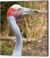 Brolga Profile Canvas Print