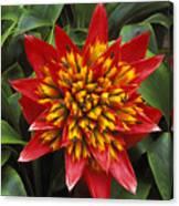 Bromeliad Blooming Canvas Print