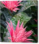 Bromeliad Plant 3 Canvas Print