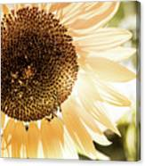 Bronze Sunflower Canvas Print
