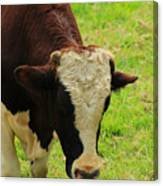 Brown And White Bull On A Farm Canvas Print
