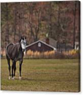 Brown And White Horse Canvas Print