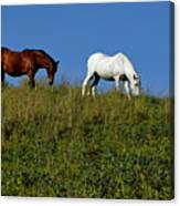 Brown And White Horse Grazing Together In A Grassy Field Canvas Print