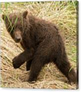 Brown Bear Cub Turns To Look Back Canvas Print