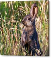 Brown Bunny Canvas Print