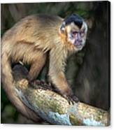 Brown Capuchin Monkey Cebus Apella Canvas Print
