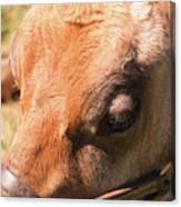 Brown Cow 2 Canvas Print