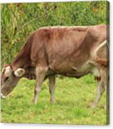 Brown Cow Grazing Canvas Print