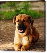 Brown Dog Lying Canvas Print