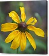 Brown-eyed Susan Canvas Print