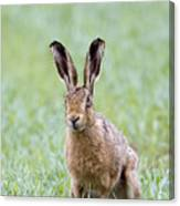 Brown Hare Canvas Print