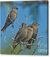 Brown-headed Cowbirds Canvas Print
