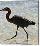 Brown Heron Canvas Print