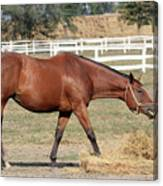 Brown Horse Eating Hay Ranch Scene Canvas Print