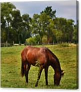 Brown Horse In Holland Canvas Print