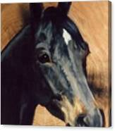 Brown Horse  Tingeys Star Canvas Print