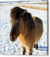 Brown Icelandic Horse In Winter In Iceland Canvas Print