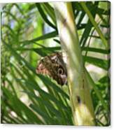 Brown Morpho Butterfly Resting On A Sunny Tree  Canvas Print