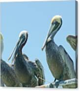 Brown Pelican 4 Canvas Print