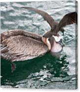 Brown Pelican And His Friend Brown Noddy Canvas Print