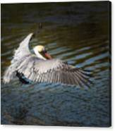 Brown Pelican In Flight Canvas Print