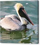 Brown Pelican In The Bay Canvas Print