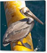 Brown Pelican On Platfrom Canvas Print
