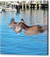 Brown Pelican Taking Flight Canvas Print