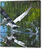Brown Pelican Taking Off Canvas Print
