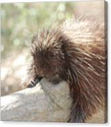 Brown Porcupine On A Fallen Log Canvas Print